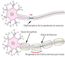 linfluxnerveux_influx-nerveux-dépolarisation.png