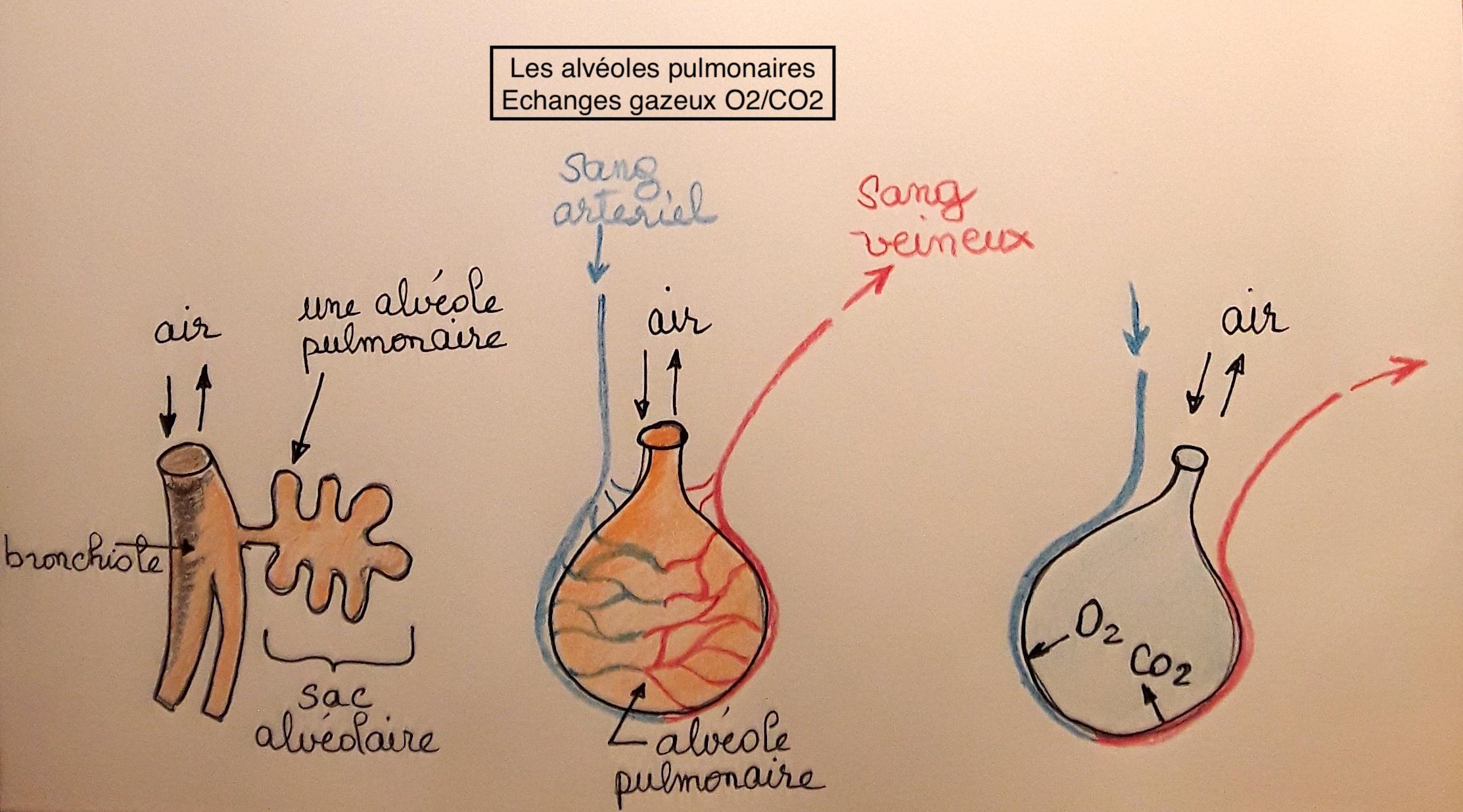 image Alveole_pulmonaire.jpg (1.8MB)